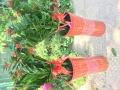 泉州发财树开业盆栽首选乔迁植物开业庆典花篮