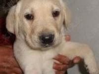 重庆出售拉布拉多犬赛级纯种拉布拉多幼犬活体 宠物