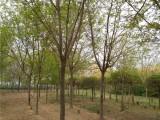 岳阳50公分法桐树基地长年出售