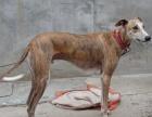 出售格惠串子肩高50-60 颜色不限 公犬价格美丽