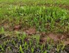 中药材种植白芨种子芽苗产地直供