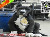 大丹犬凶不凶 大丹犬多少钱 哪里有大丹犬出售