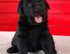 聪明小七 拉布拉多幼犬 实体多只 可以上门选购 超低价格