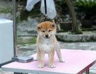 极品日本柴犬幼犬品相好血统纯看父母欢迎上门