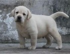 重庆专业狗场繁殖 拉布拉多犬 加拿大血统 签协议