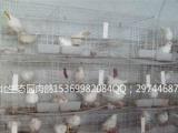 河北生态园肉鸽养殖基地肉鸽、观赏鸽、鸽子蛋