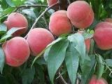全国供应蟠桃桃树苗直销 中华寿桃桃树苗直销 早熟  桃树苗出售