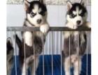 出售哈士奇雪橇犬纯种三火蓝眼流星尾黑灰红色宠物公母