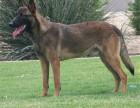 哪里有马犬卖 马犬多少钱 马犬的图片