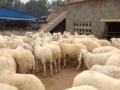 出售肉牛,肉牛犊,肉羊,肉驴