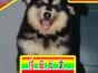 纯种阿拉斯加犬品相好有多只可选 健康有保障 签购犬签协仪