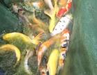 苏州渔乐日本锦鲤养殖场