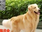 中山哪里有金毛犬出售金毛犬适合家养吗