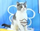 蓝猫宠物猫英国短毛猫蓝白折耳蓝猫活体幼猫健康纯种英国短毛猫