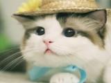 河源源城靓丽可爱的英国长毛猫 蓝白双色猫小公主
