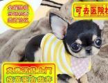 吉娃娃犬、保纯种健康、免费送货上门、签售后协议