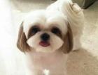 西施犬纯种家养繁殖西施狗出售精品家养活体宠物狗