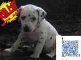 上海哪里有卖斑点狗的 斑点狗一般多少钱