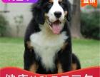 本地出售纯种伯恩山幼犬,十年信誉有保障
