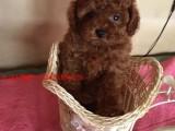 温州哪里卖的泰迪便宜 温州哪里有宠物泰迪卖 白泰迪多少钱