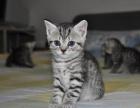 一猫在手 一生牵手 萌萌短毛猫 含泪出售