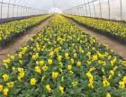 角堇厂家较大量批发销售各类草花