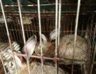 浏阳肉兔的营养价值