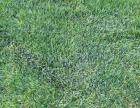 草坪高羊毛自铲自销