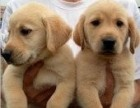 武汉出售 纯种拉布拉多 包犬瘟细小包健康 三个月有问题包退换