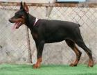 哪里出售纯种高品质 杜宾犬 健康可来基地挑选