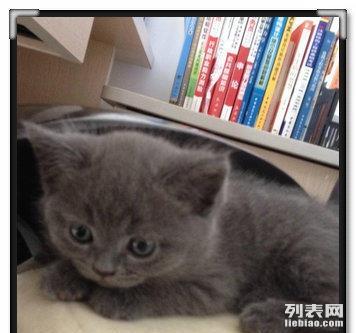 详情描述宠物照片 详情描述 自家蓝猫生的小篮猫,继承啦猫爸的优良
