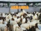 出售肉牛犊鲁西黄牛犊西门塔尔牛利木赞牛小牛犊牛苗