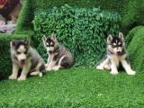 桂林 出售哈士奇犬,疫苗驱虫已做,可