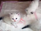 韶关哪里有卖布偶猫 韶关纯种布偶猫一只多少钱