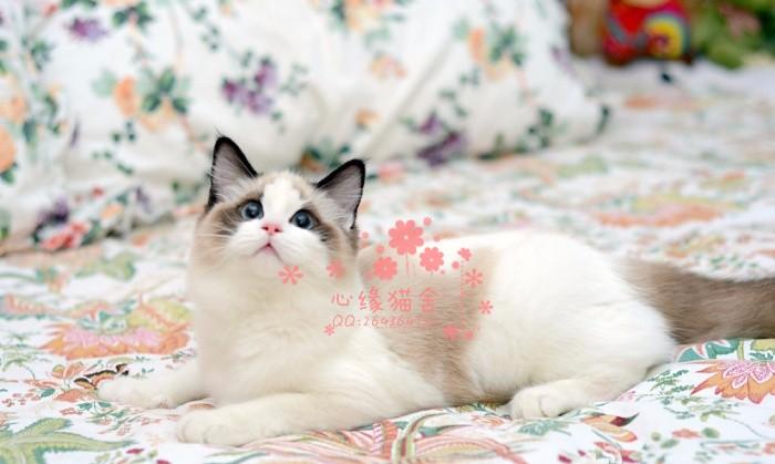 长沙哪里有卖布偶猫 长沙买布偶猫到哪里好