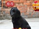 赛级纯种拉布拉多幼犬 大骨量 优秀导盲犬 签订协议