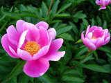 实信花卉苗木出售专业的芍药——黄楼芍药种植基地