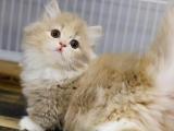 广东河源猫舍曼基康矮脚猫价格