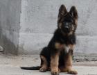 中国较大双血统德国牧羊犬繁殖基地 可实地考察