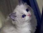 出售小布偶猫,漂亮美丽的,很温顺的
