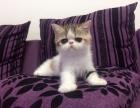 家养加菲猫找妈妈了 数量有限!