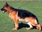 出售纯种德国牧羊犬 德牧幼犬 品质好质量保证