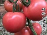 供应西红柿种苗 A8粉柿子苗 量大优惠 果型美观 大果型