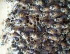 出售中蜂群(中华蜜蜂土蜂)