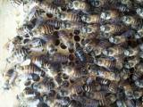"""出售中蜂群(中华蜜蜂""""土蜂)"""