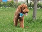 贵族犬舍出售精品巨型贵宾犬巨贵 本地可上门自提