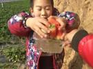 运城夏县南大里圪塔村致远草莓采摘园开园了