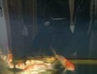 观赏鱼缸+6条锦鲤 价格450