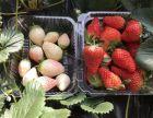 草莓采摘 奶油草莓 白草莓