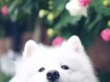 兰州正规繁殖基地出售大中小型宠物犬保健康可送上门选